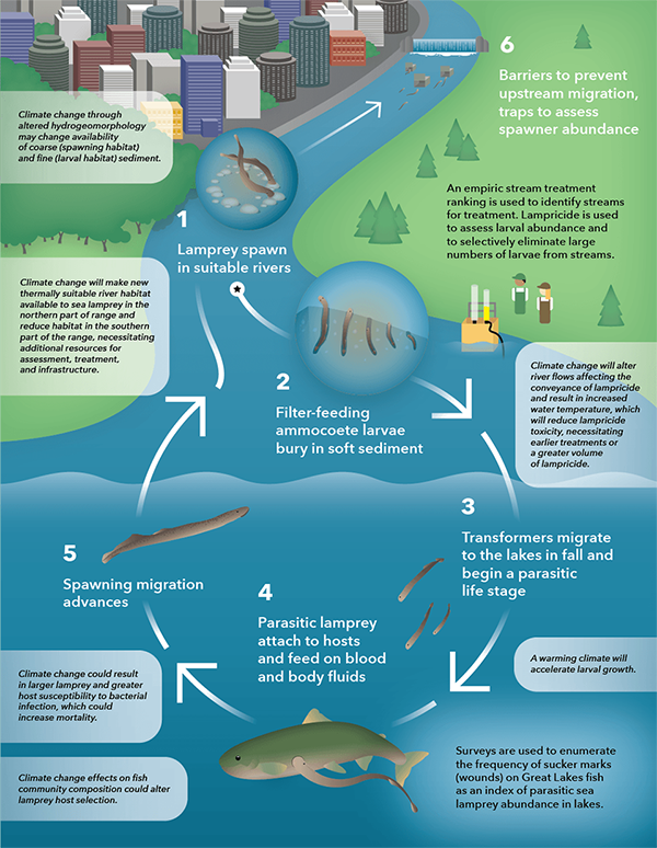 Infographic about sea lamprey control